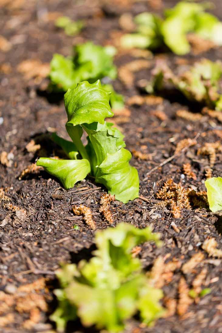 Gemüse selber anbauen - Jungpflanzen Salat