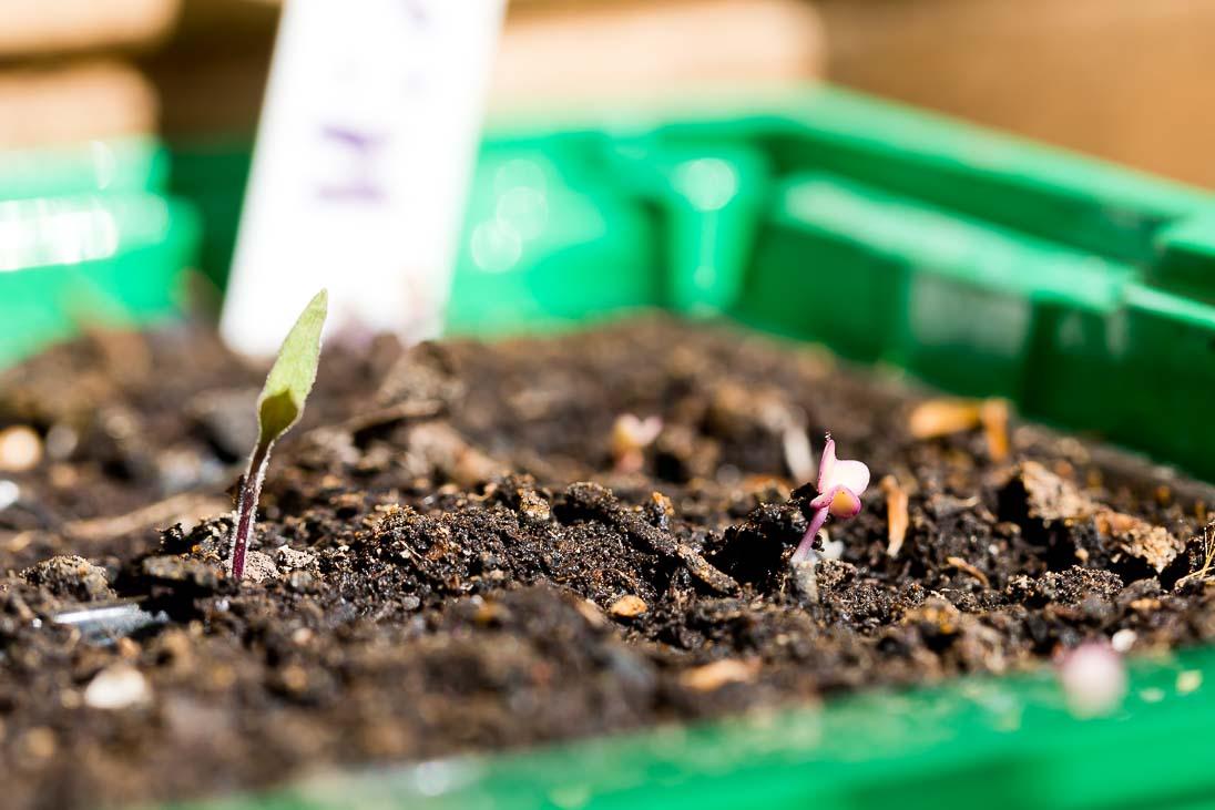 Gemüse selber anbauen - Jungpflanzen Tomaten