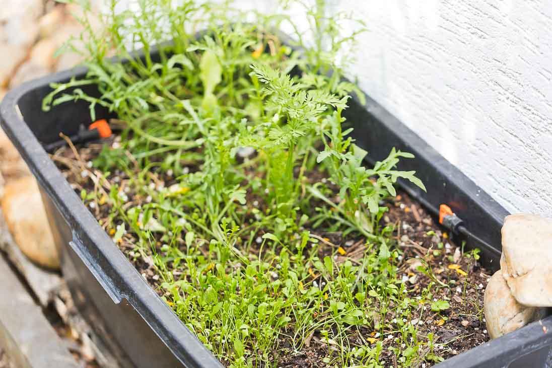 Gemüse selber anbauen - Ruccola