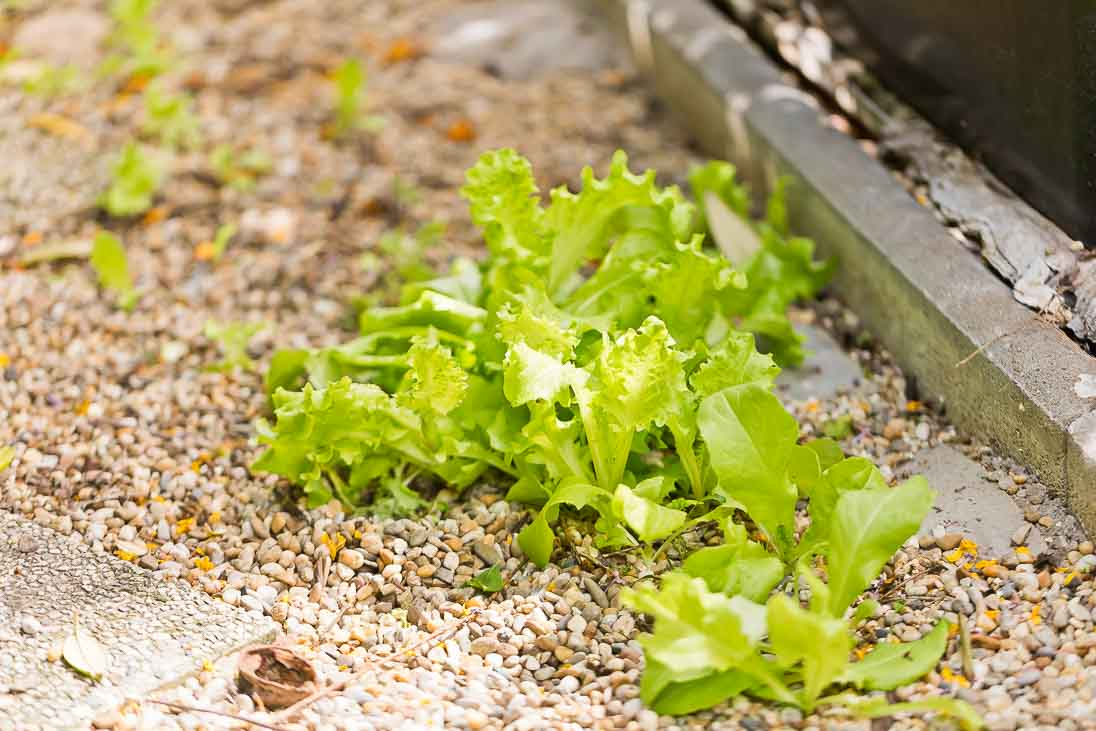 Salatpflanzen